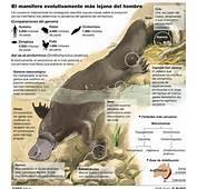 Ornitorrinco Caracteristicas