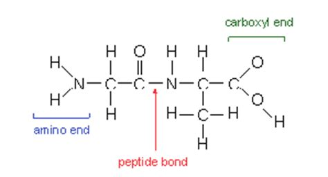 dipeptide diagram dipeptide molecule www pixshark images galleries