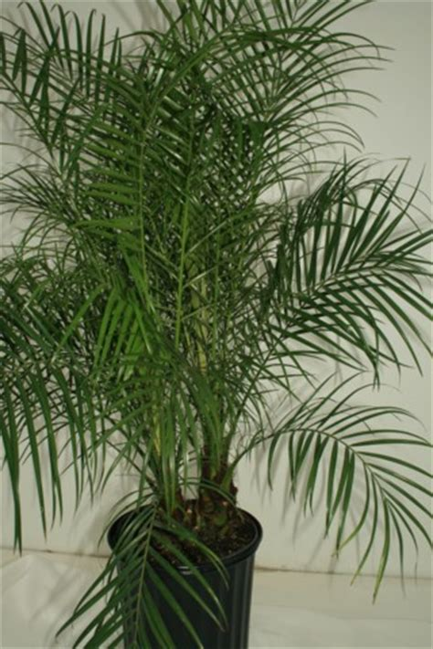alpha botanical pygmy date palm plant care profile