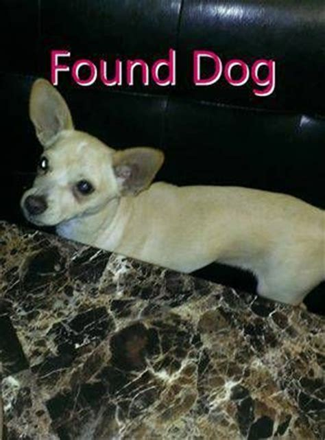 deer chihuahua puppies craigslist 1000 images about lost and found min pin chi papillons x on