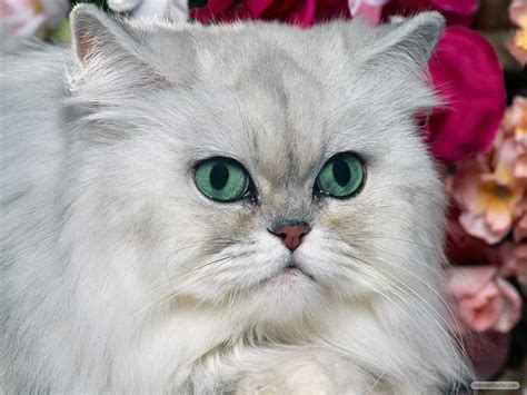 wallpaper chat lucu kucing anggora persia related keywords kucing anggora
