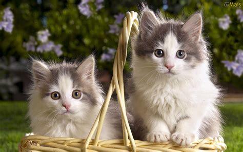 osmaiscom papel de parede lindos gatinhos papel de