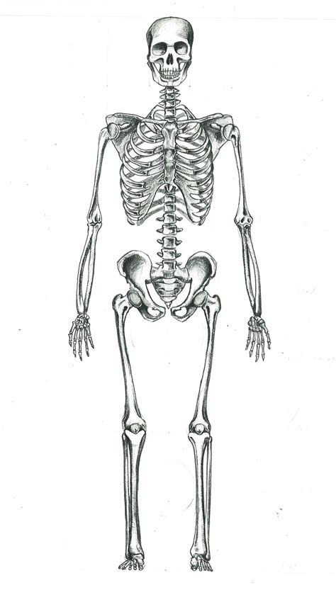 human skeleton by sgogalator on deviantart