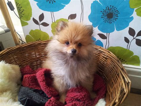 pomeranian puppies for sale lancashire adorable kc registered pomeranian puppies for sale blackpool lancashire pets4homes