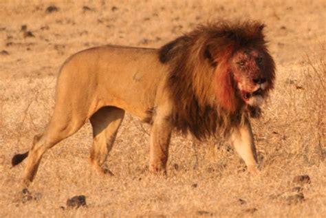 imagenes abstractas de leones el rey de la selva le 243 n info y wallpapers im 225 genes