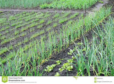 vegetable garden in the stock photo image 39005545
