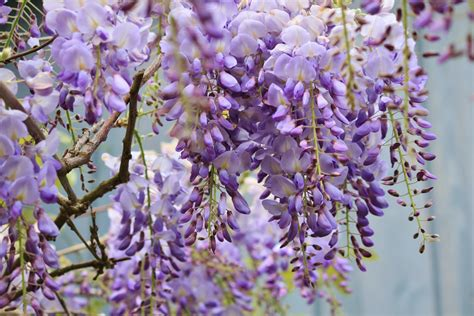 wisteria flower wisteria how to plant grow and care for wisteria plants