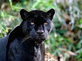 Jaguar Panther Black Jaguar Wallpapers Wallpaper Cave