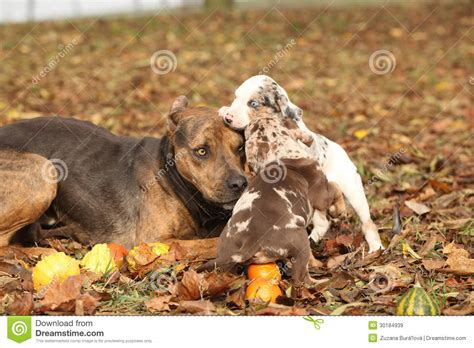 free puppies in louisiana louisiana catahoula with puppies royalty free stock images image 30184939