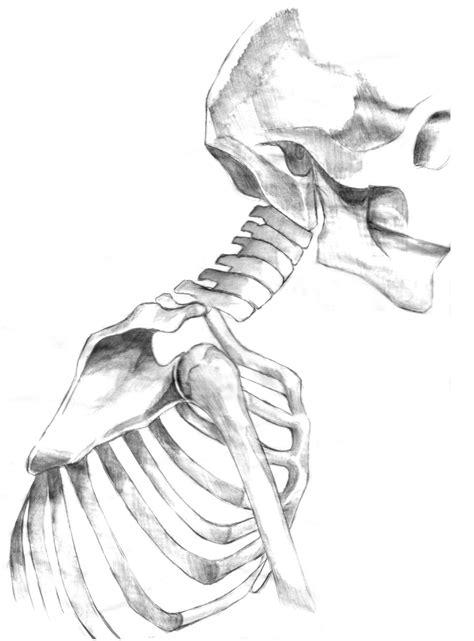 human anatomy skeleton drawing www imgkid com the