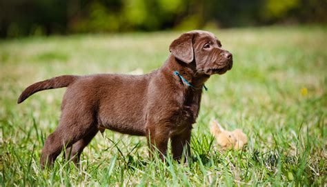 buying puppies which labrador colour is best