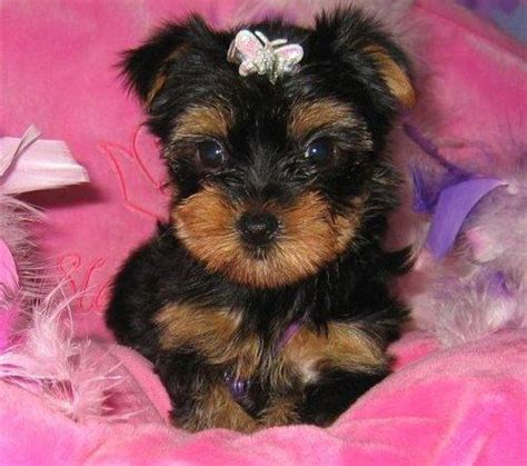 teacup yorkie breeders in ky pets independence ky free classified ads