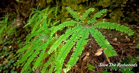 Plants That Live In The Forest Floor by Coast Redwoods Save The Redwoods League