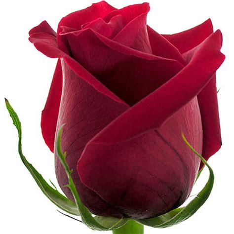 imagenes de rosas rojas hermosas image gallery imagenes de rosas rojas
