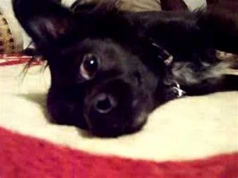 black spikey fur dog my black long haired hair chihuahua booboo part 1 youtube