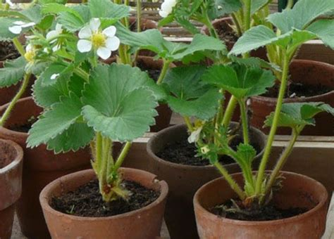 Jual Bibit Strawberry Putih cv bibit unggul bibit tanaman strawberry california