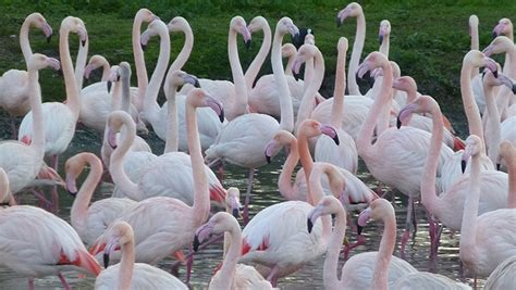 how do flamingos get their pink color the curious world of flamingos research at exeter
