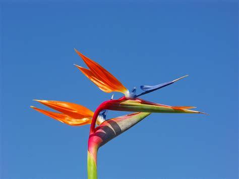 fiore uccelli paradiso uccello paradiso fiore photo 1399122 freeimages