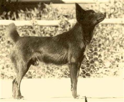 extinct dogs extinct tahitian mikey 4