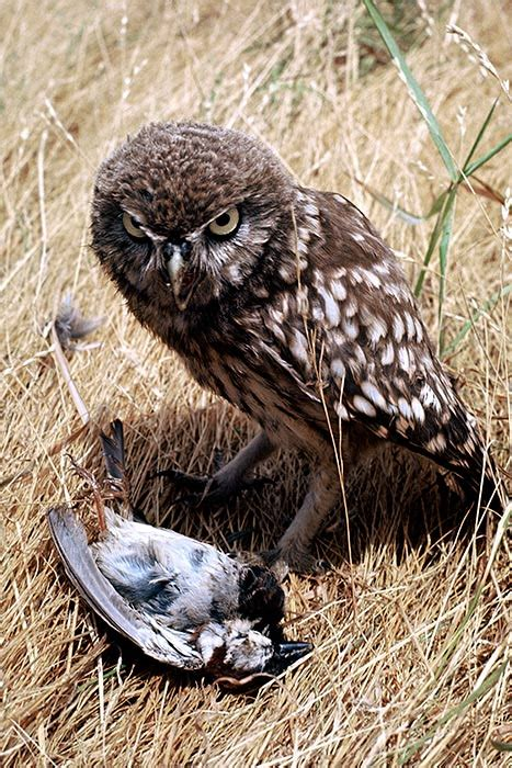 little owl food introduced land birds te ara