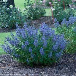 beyond midnight 174 bluebeard caryopteris x clandonensis