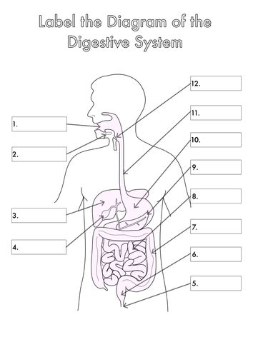 labeled digestive system diagram four human biology diagrams to label lungs