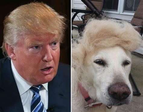 donald trump dog donald trump dog hair things that look like donald trump