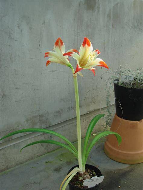 Hippeastrum Nelsonii C 195 161 Rdenas J Van Scheepen Tsukuba Botanical Garden