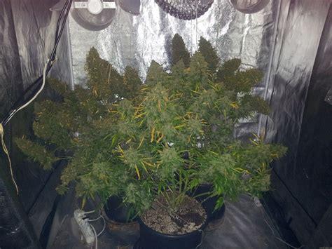 dutch passion seedfinder strain