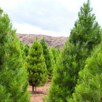 peltzer pines choose cut christmas tree farms 22