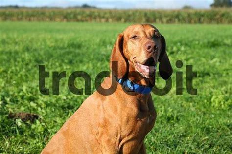hungarian setter dog 8 year old male vizsla dog r 246 vidsz 246 r 252 magyar vizsla