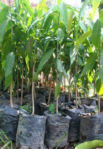 Bibit Glodokan Tiang jual pohon glodokan tiang di tobelo jual bibit tanaman