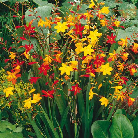 crocosmia mix bulbs from k van bourgondien