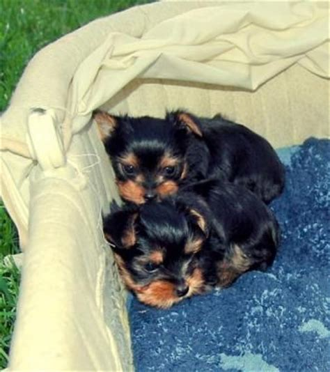 free puppies in tulsa tenderly raised teacup yorkie puppies for adoption wanted from tulsa oklahoma adpost