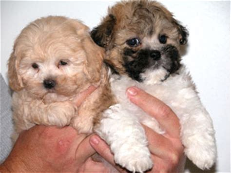 maltese shitzu puppies for sale shih tzu maltese mix puppies for sale in wisconsin breeds picture