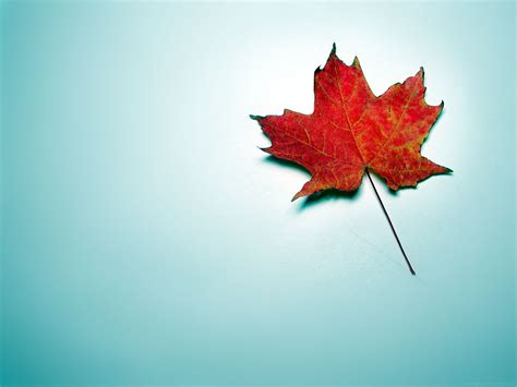 wallpaper samsung daun wallpapers and pictures canada maple leaf wallpaper