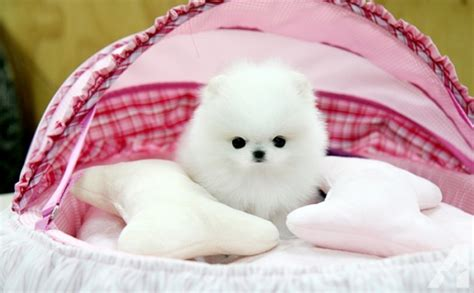 teacup pomeranian for sale in nj top quality micro teacup pomeranian puppies available 432 847 4550 for sale in