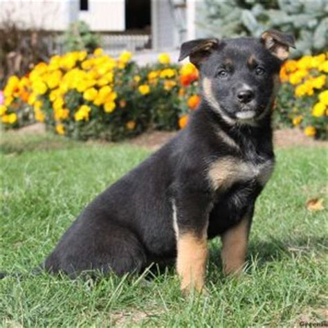 australian sheprador puppies for sale german sheprador puppies va breeds picture