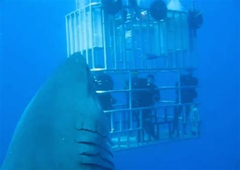 what is the largest great white shark ever recorded primer biggest great white shark ever filmed surfaces grindtv com