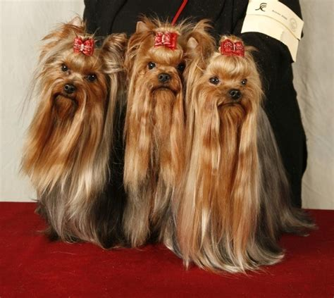 show yorkies 77 best images about yorkie show grooming on coats yorkie and grain free