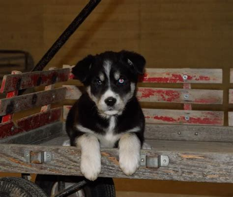 golden retriever puppies for sale ct adorable siberian husky golden retriever puppies craigspets