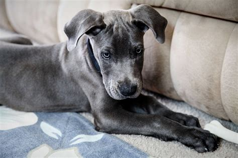 grey great dane puppy 90 best great dane names