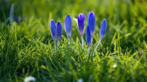 Download 1920x1080 HD Wallpaper snowdrop violet grass
