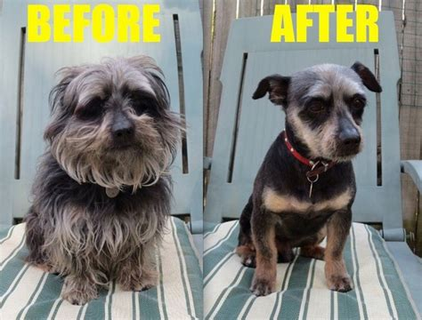 dog haircuts before and after dogs before and after haircuts
