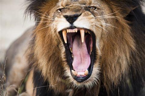 imagenes de leones felises el simbolismo de los leones en los tatuajes vix