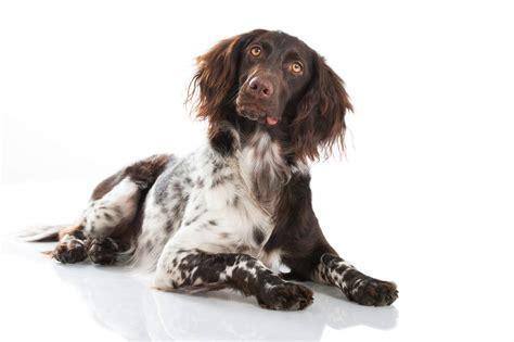 small munsterlander puppies small munsterlander dogs breed information omlet