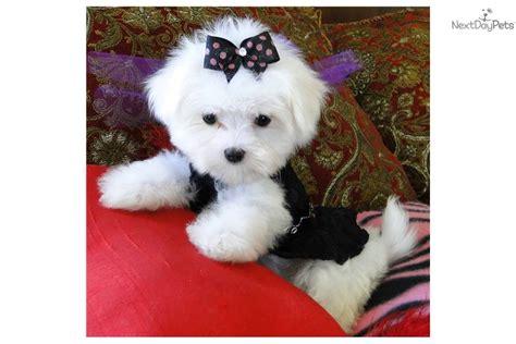 maltese teddy bear cut teddy bear maltese cut hairstylegalleries com