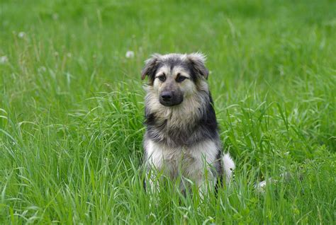 carpathian shepherd carpathian shepherd breed 187 breed info pictures more