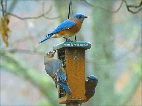 bluebird feeders north carolina bluebird society