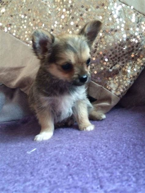 chi yorkie puppies yorkie x chihuahua puppies halstead essex pets4homes